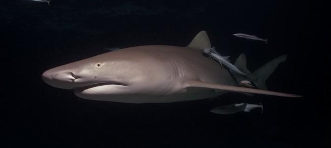 Tigerhaitauchen Bahamas 2014